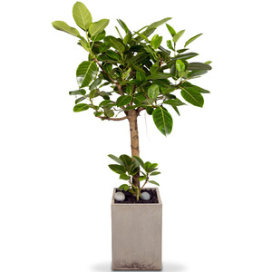 뱅갈고무나무 10호 (180cm이상)