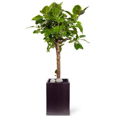 뱅갈고무나무 5호 (170m내외)